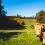 wandeling koe